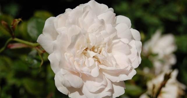 Япония обяви 2 юни за Ден на розата