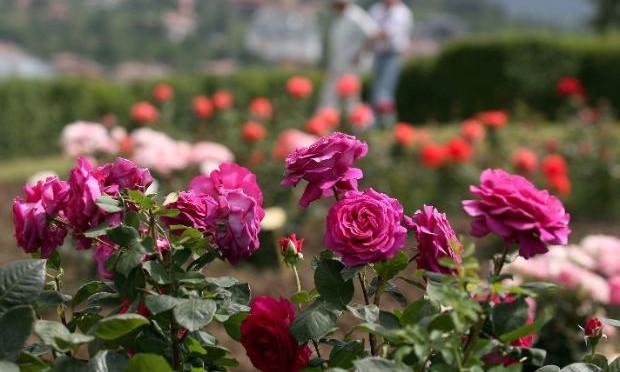 Произведеното розово масло ще е с 10% повече от 2013 г.
